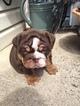 English Bulldog Puppy For Sale in STAFFORD, Virginia,