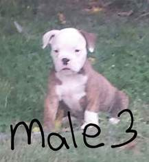 Olde English Bulldogge Puppy For Sale in CLAYTON, IL