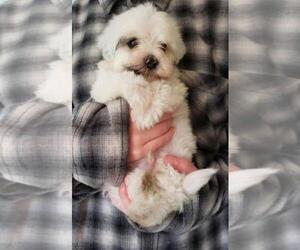 Havanese Puppy for sale in SAGLE, ID, USA
