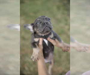 French Bulldog Puppy for sale in BROOKLYN, NY, USA