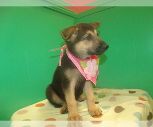 German Shepherd Dog Puppy for sale in PATERSON, NJ, USA