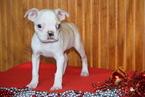 Boston Terrier Puppy For Sale in FREDERICKSBURG, OH, USA