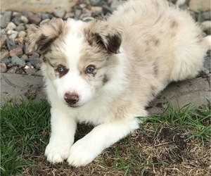 Border Collie Puppy for Sale in RICE, Minnesota USA