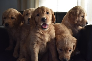 Golden Retriever Puppy For Sale in STOCKTON, CA