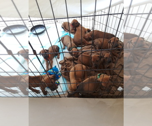 Rhodesian Ridgeback Puppy for sale in FORT MYERS, FL, USA