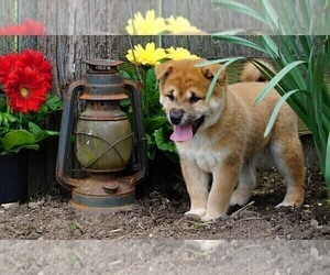 Shiba Inu Dog for Adoption in FREDERICKSBG, Ohio USA