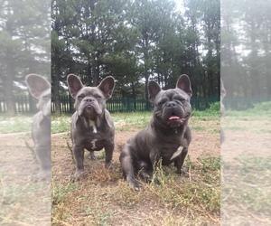 French Bulldog Puppy for sale in FALCON, CO, USA