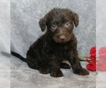 Mini F1B Labradoodle For Sale Millersburg OH