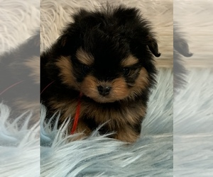 Pomeranian-Poodle (Toy) Mix Puppy for sale in DALE, IN, USA