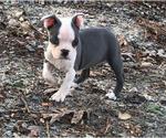 Small #19 Boston Terrier