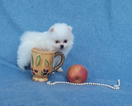 Pomeranian Puppy For Sale in PALM BEACH GARDENS, FL,