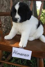 Newfoundland Puppy For Sale in KELLOGG, IA, USA