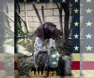 German Shorthaired Pointer Puppy for sale in MORENO VALLEY, CA, USA