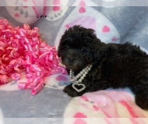 Shih-Poo Puppy for sale in TALALA, OK, USA