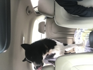Karelian Bear Dog Puppy for sale in TAMPA, FL, USA
