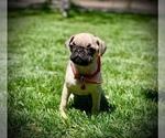 Small #9 Pug