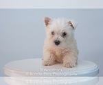 Small #2 West Highland White Terrier