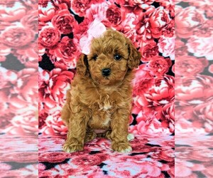 Poodle (Toy) Puppy for sale in LINCOLN UNIV, PA, USA