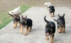 German Shepherd Dog Puppy For Sale in UVALDE, TX, USA