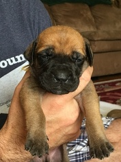 Mastiff Puppy For Sale in MADISON, NC