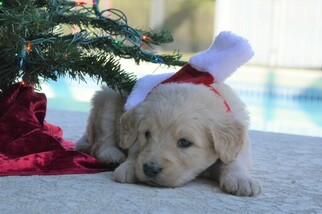 Goldendoodle Puppy For Sale in DOWLING PARK, FL, USA