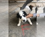 Small #3 Border Collie-Great Pyrenees Mix