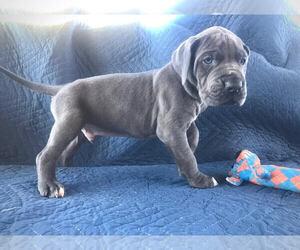 Great Dane Puppy for sale in ZACHARY, LA, USA