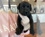 Puppy 8 Mastador