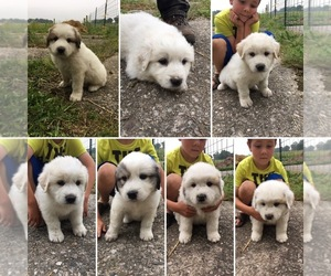 Great Pyrenees Puppy for sale in DECATUR, IN, USA