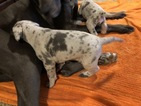 3 Great Dane Puppies forsale