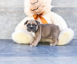 Faux Frenchbo Bulldog Puppy for sale in CLEVELAND, NC, USA