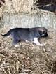 Small #2 Anatolian Shepherd-Great Pyrenees Mix
