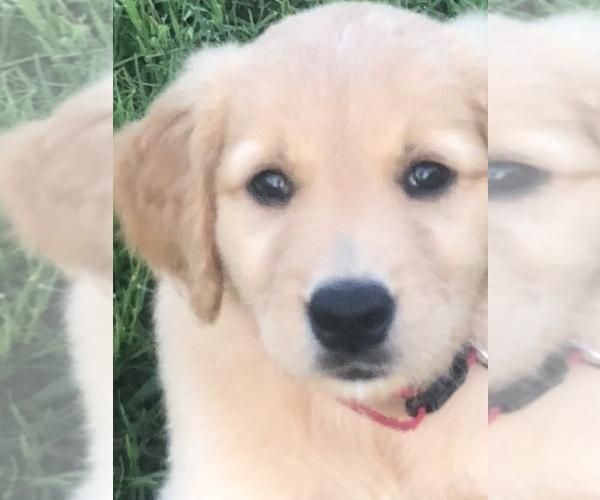 PuppyFinder com - View Ad: Photo #17 of Listing Golden