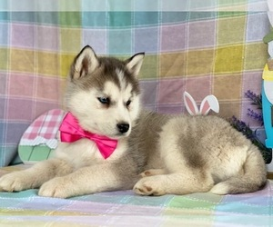 Siberian Husky Puppy for sale in LANCASTER, PA, USA