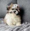 Zuchon Puppy For Sale in WARSAW, Indiana,