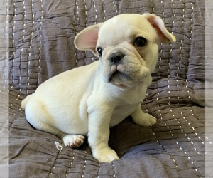 French Bulldog Dog for Adoption in ATL, Georgia USA