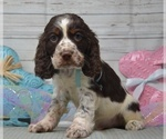 Calvin Male English Springer Spaniel