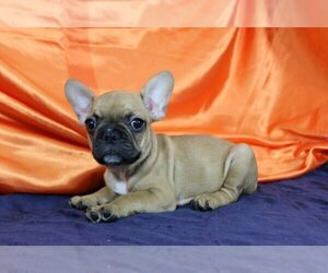 French Bulldog Dog for Adoption in PURCHASE, New York USA
