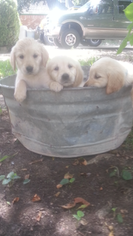 Golden Retriever Puppy For Sale in KATY, TX, USA