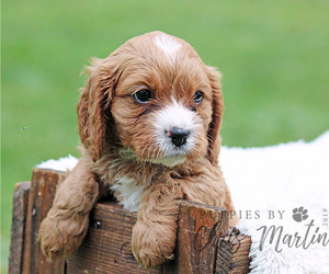 Cavapoo Puppy for sale in EPHRATA, PA, USA