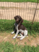 German Shorthaired Pointer Puppy For Sale in NORTH BRANCH, MN,