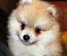 View Ad Pomeranian Puppy For Sale Texas Blanco Usa