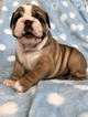 English Bulldog Puppy For Sale in PARKLAND, Florida,