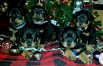 Rottweiler Puppy For Sale in SPRING HILL, FL,