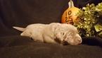 Labrador Retriever Puppy For Sale in CATAWISSA, MO, USA