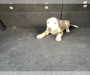 Medium American Pit Bull Terrier