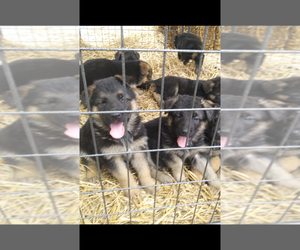 German Shepherd Dog Puppy for sale in GREENFIELD, IN, USA
