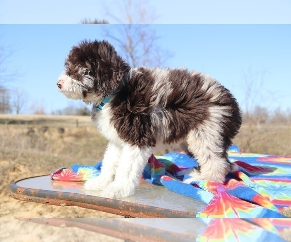 Medium Photo #6 Aussiedoodle Puppy For Sale in UNION CITY, TN, USA