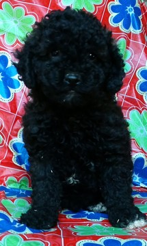 Poodle (Toy)-Yorkshire Terrier Mix puppy