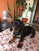 Dachshund Puppy For Sale in LAKE STEVENS, WA